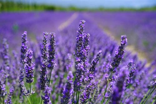 CBD-rich lavender in field
